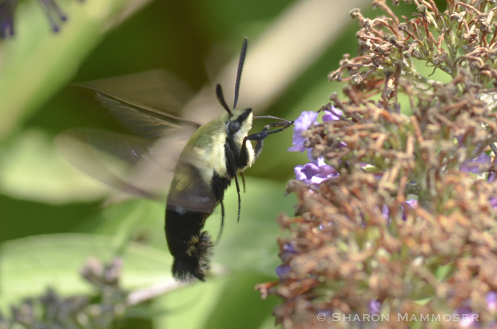 A Hummingbird moth that is active during the day