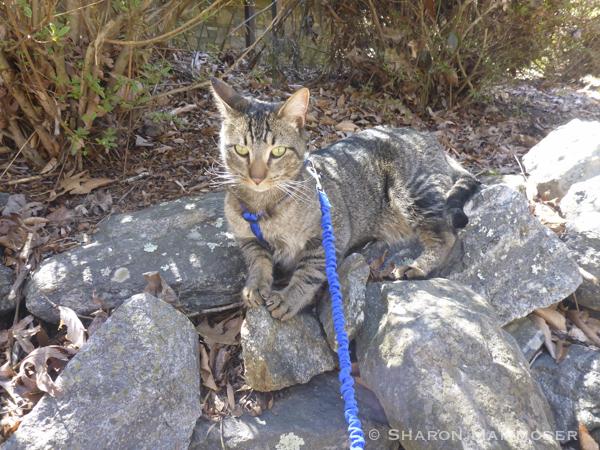 Hobbes on a leash enjoying the sun