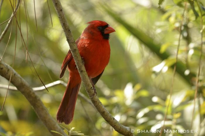 cardinal-2860