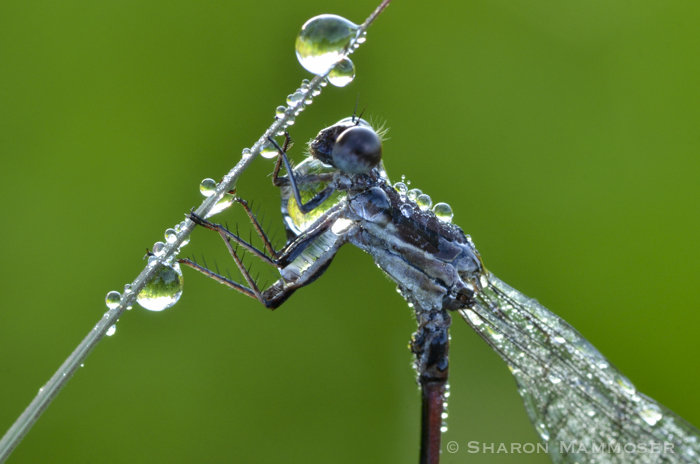 "A damselfly ""frozen"" with dew."