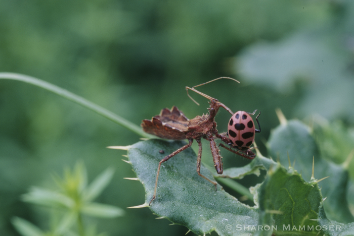 A Ladybug Getting Eaten By An Assassin Bug