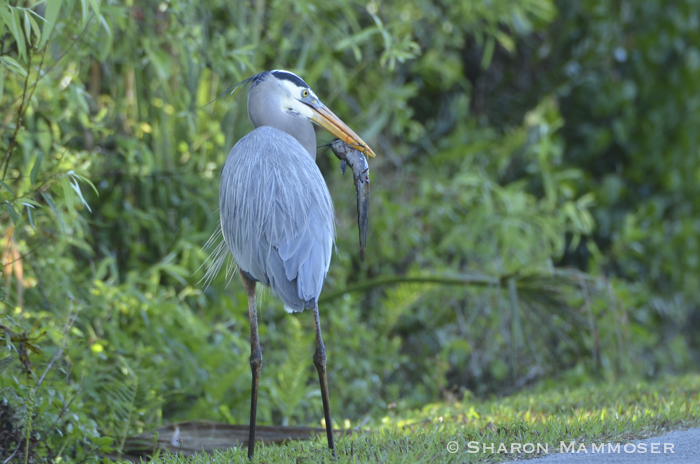 What the Crane Eats in Nature: Features and Interesting Facts