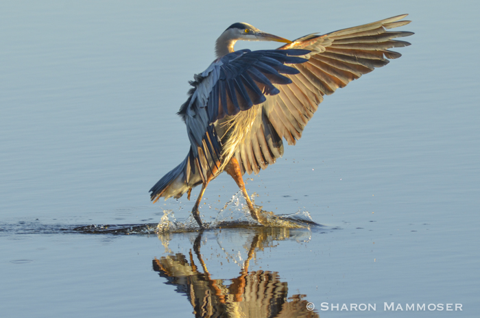 10 Facts About Great Blue Herons