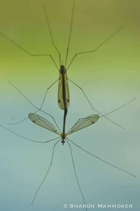 Crane flies mating.