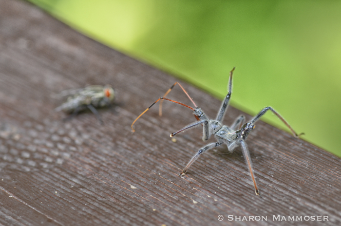 An assassin bug approaches a fly