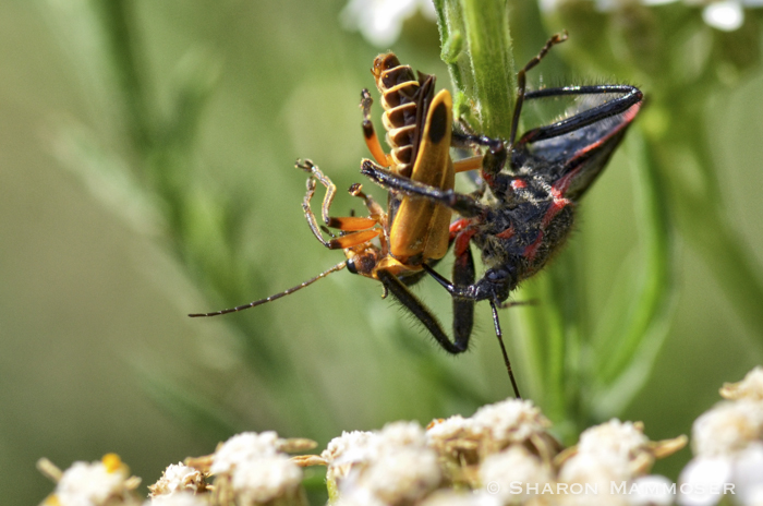 An assassin bug feeding on a soldier beetle.