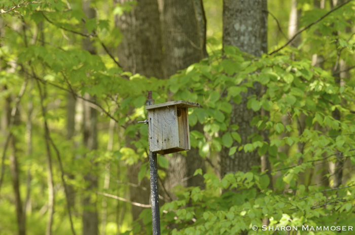 Chickadees might nest in a bluebird box.