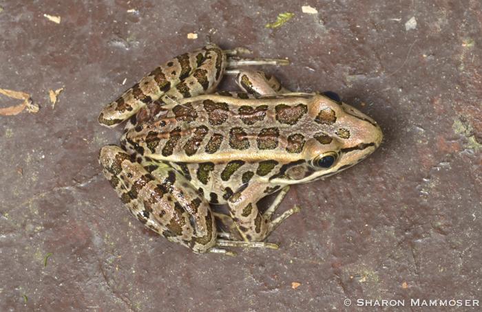 frog-2065