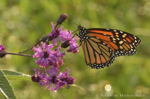 aa monarch-3679