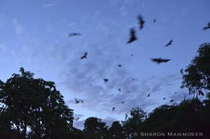 Bats in Thailand