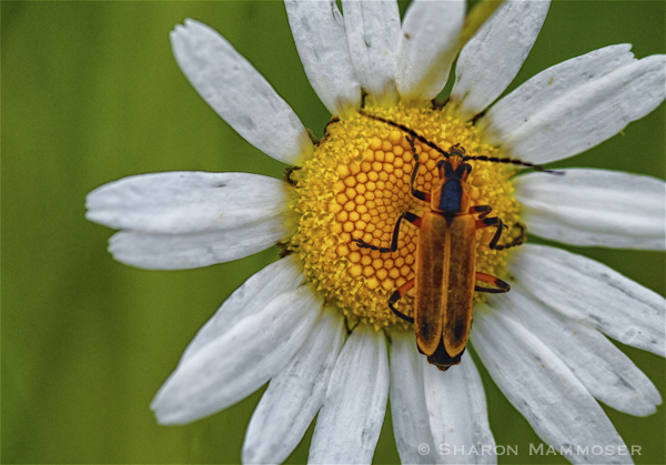 Adult Goldenrod Soldier Beetle on a daisy.