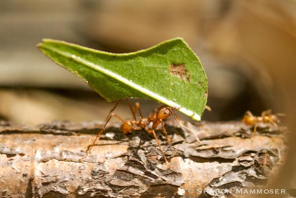 Leaf cutter ants in Costa Rica