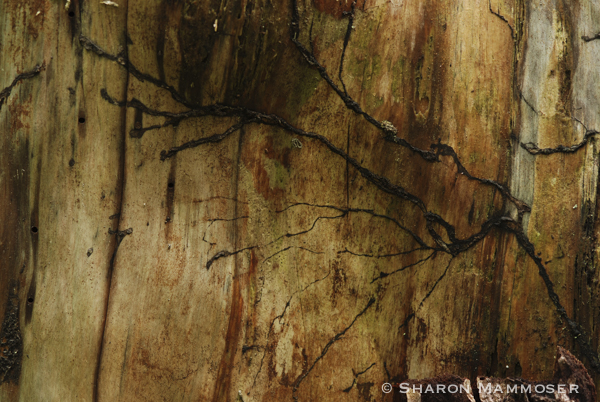 Mycelium in a dead tree