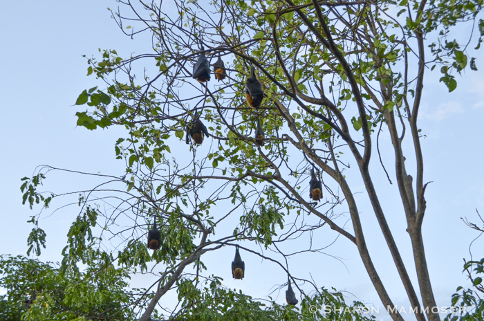 Sleeping Flying Fox bats in Thailand