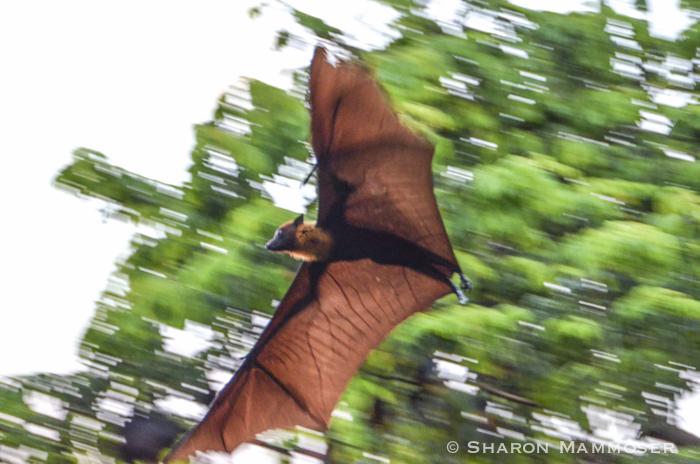 A fruit bat in Thailand