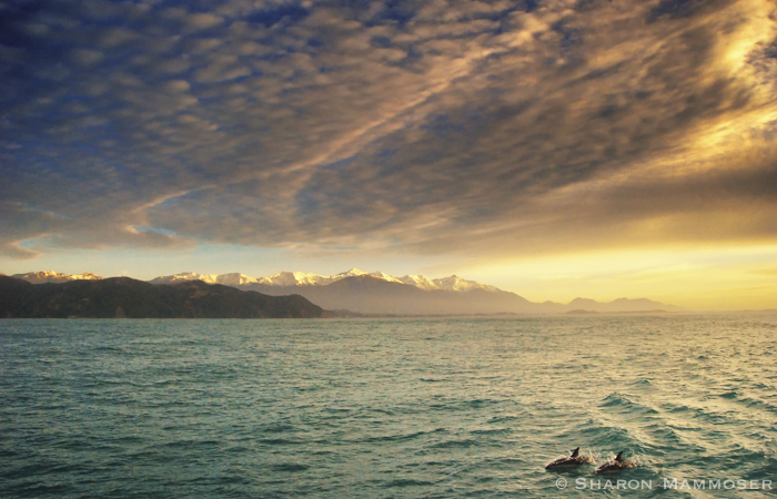 Two dusky dolphins swimming together in New Zealand