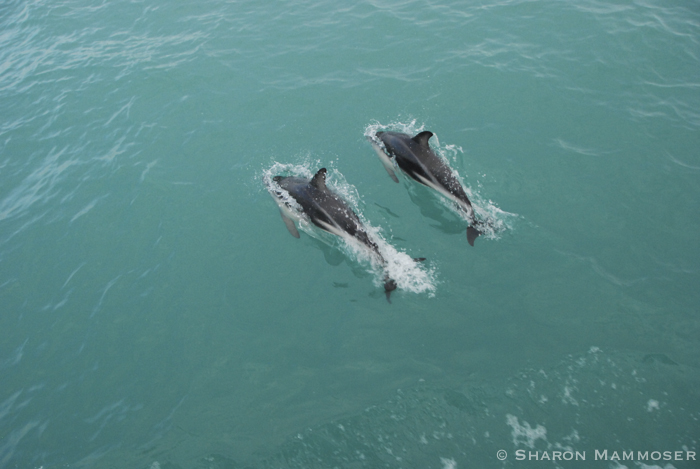 Dusky dolphins in New Zealand