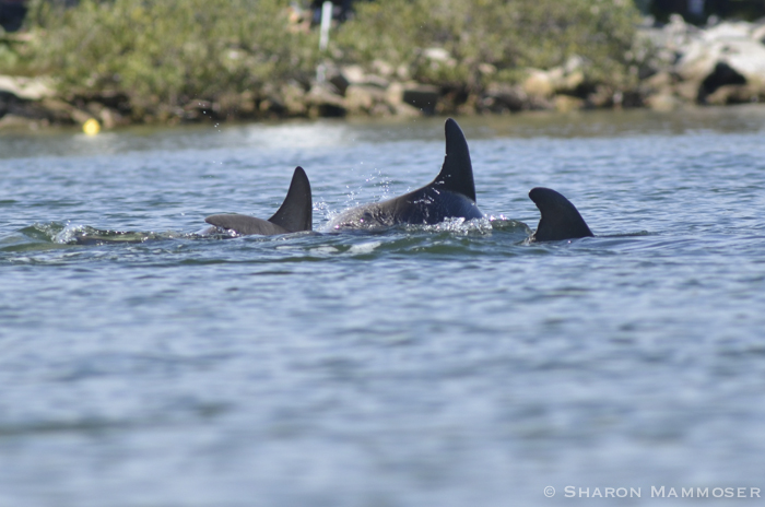 Bottlenose dolphins in the Everglades
