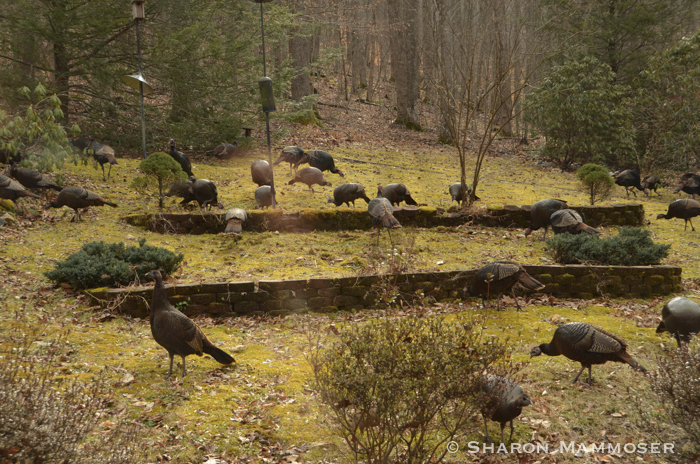 Turkeys are common in our backyard