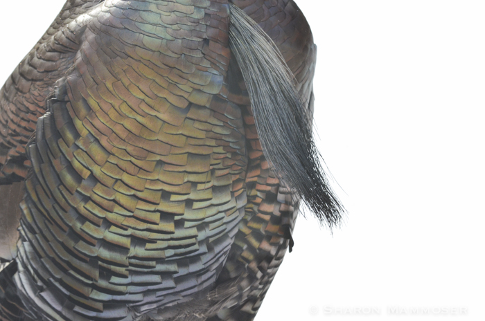 Here is a turkey beard... and check out the iridescent feathers!