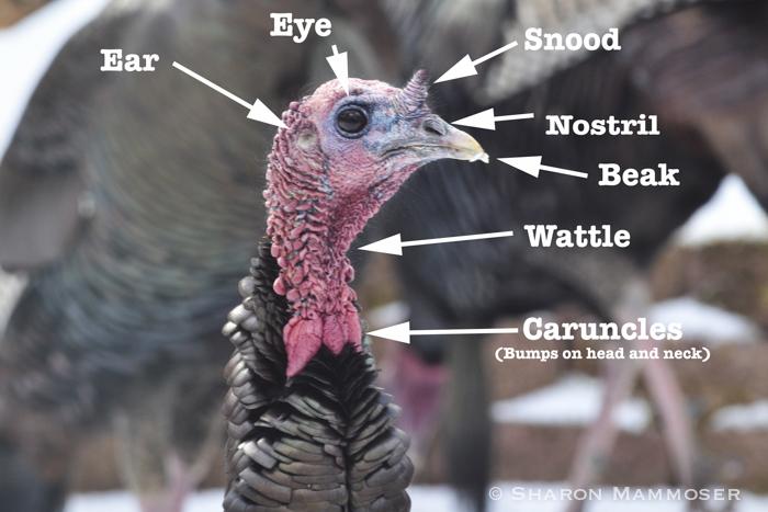 turkey3-
