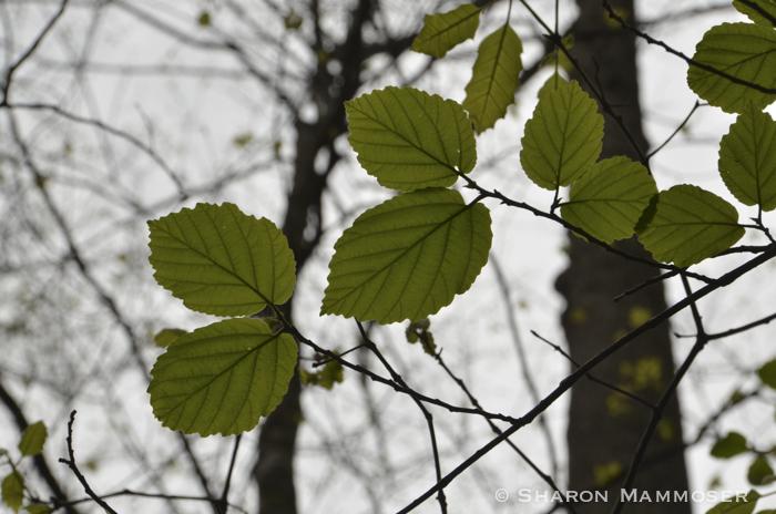 Witch hazel leaves