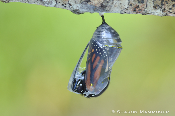 A monarch butterfly emerging