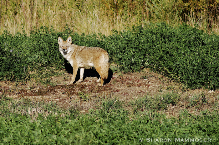 Coyotes have red eyeshine