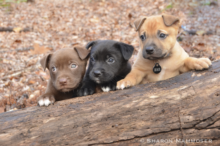 Shroeder, Woodstock and Linus before they learned to climb under the log.