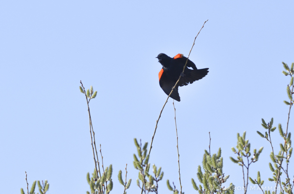 After the red-winged blackbird returns from their southern migration