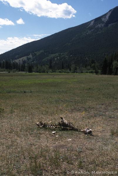 A dead elk