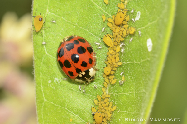 Ladybugs eat aphids