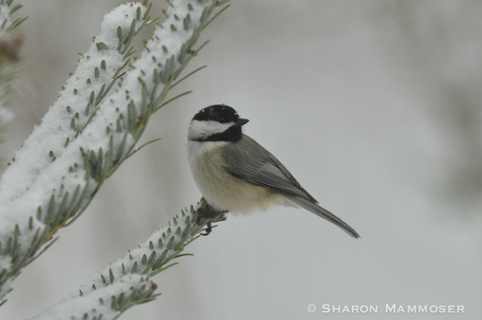 Chickadees often choose to nest in beech trees