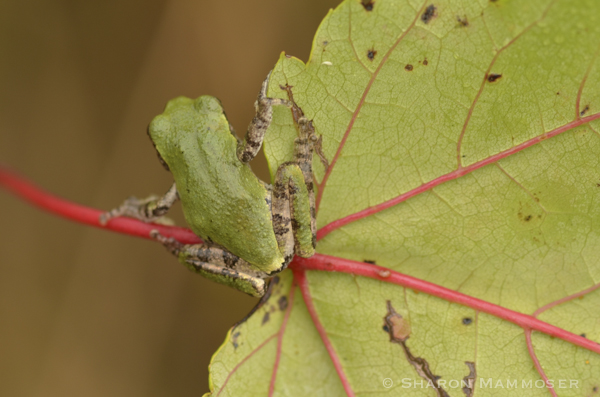 Gray tree frogs can change colors!