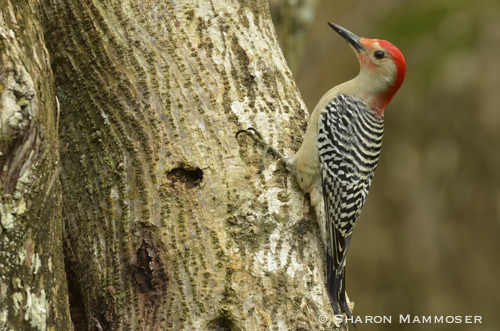 A male red-bellied woodpecker