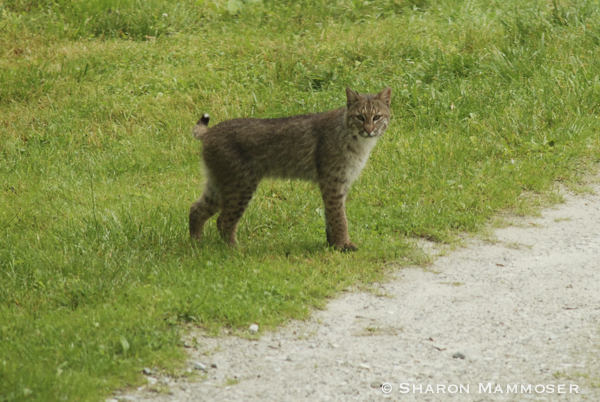 A bobcat that I saw years ago