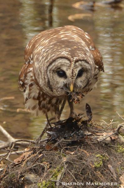 owl-3236