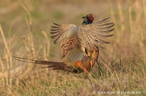pheasant-