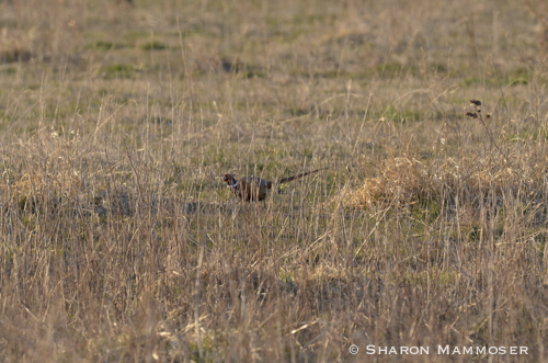 "Pheasants spend their time in tall grasses where they ""disappear"""