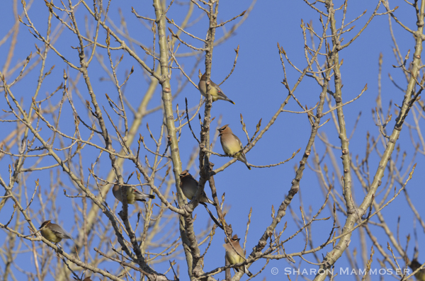A flock of cedar waxwings and cowbirds in the midst
