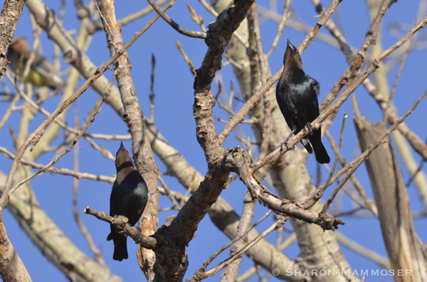 Cowbirds checking out the cedar waxwings