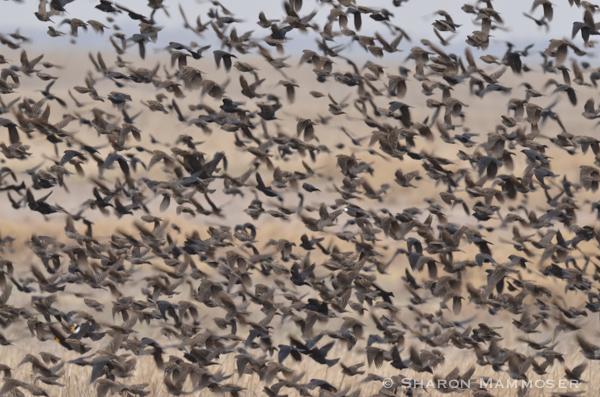 A mixed flock of blackbirds including cowbirds