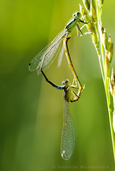 "Damselflies in ""wheel"" position"