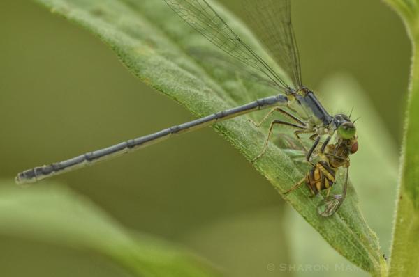 A damselfly snags a fly!