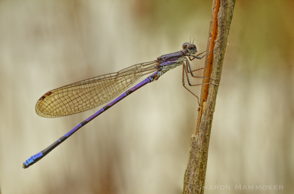Wow, a purple damselfly! Temperature and light can make their colors fade.