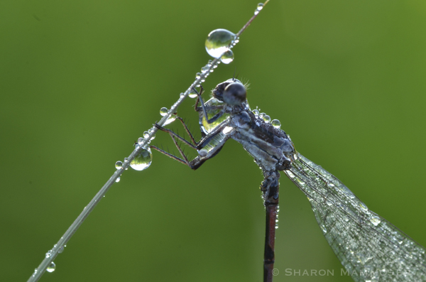 A damselfly covered in dew