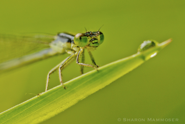 Eyes of a damselfly do not touch