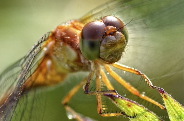 A dragonfly's eyes touch in the middle