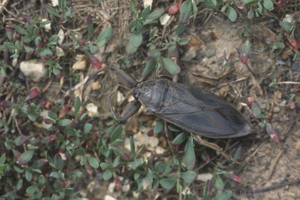 A giant water bug out of water