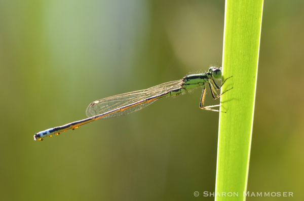 Look closely at the abdomen of this damselfly...